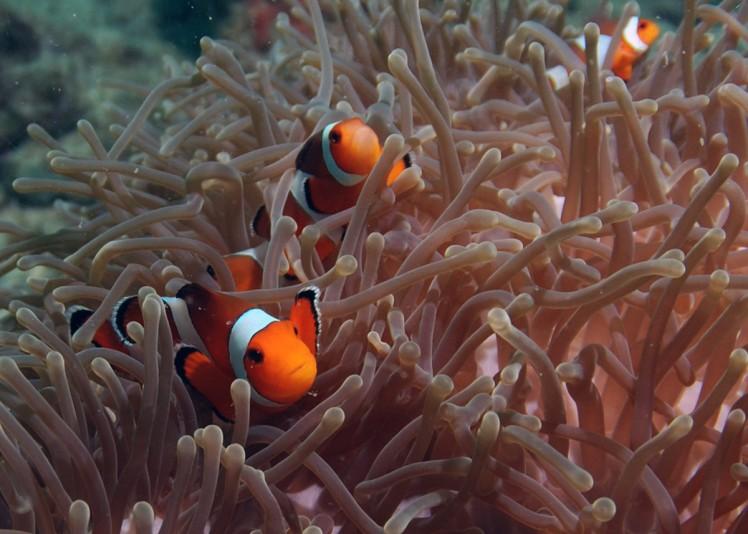 Thailand2016-dykning-BidaIslands-fisk1