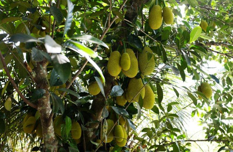 mekong-cykeltur-frukt8-jackfruit