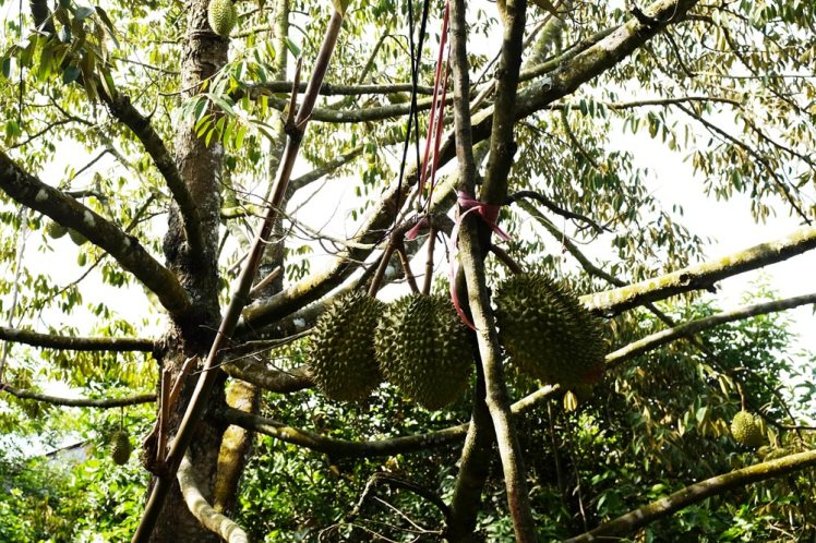 mekong-cykeltur-frukt8b-durian