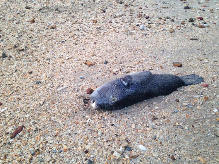 kohlanta-fisk