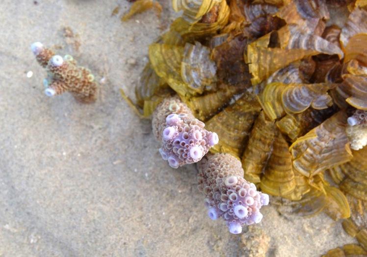 kohbulon-koraller2