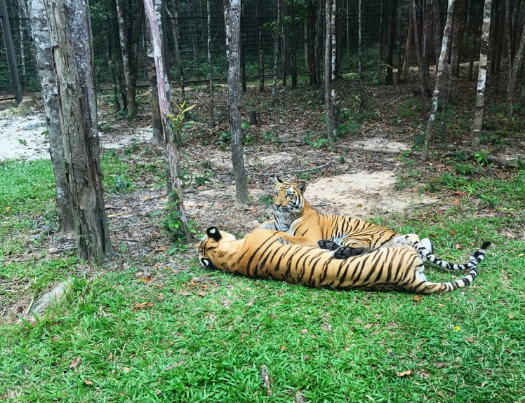 PhuQuoc2018-zoo4-tiger