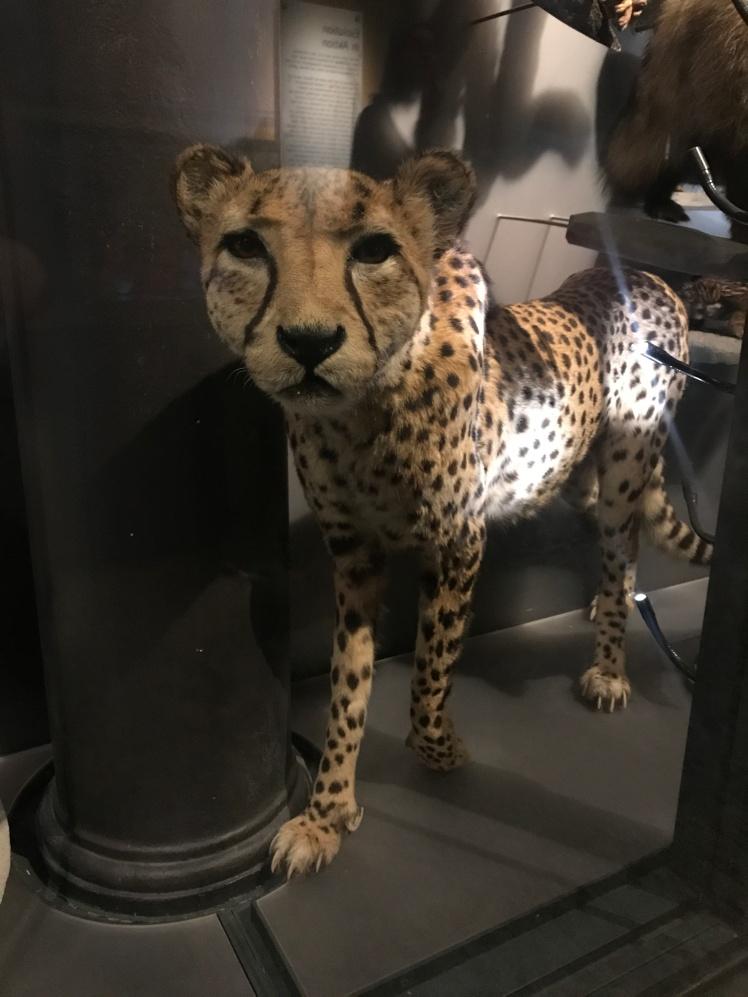 Berlin-Naturkunde-museum-leopard